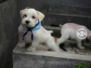 Cachorros schnauzer blancos