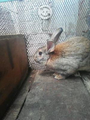 Se vende conejo