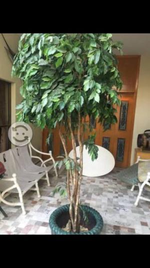 Árbol ficus tipo seda