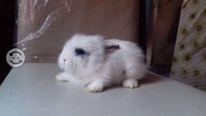 Coneja angora pequeña