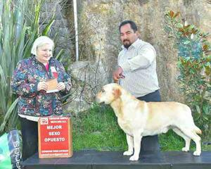 Semental Labrador Retriver Amarillo Pedigree Internacional