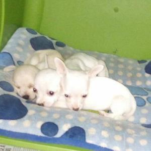 Cachorritos Chihuahua cabecita de manzana