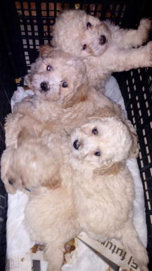 Cachorritos french poodle