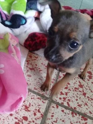 Chihuahua - Anuncio publicado por susana acuña