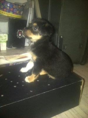 Chihuahua mini mix de 3 meses