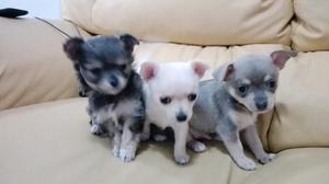 Chihuahuas 2 hembras 1 macho ya se vendio la blanca