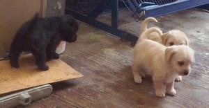 Vendo 4 Cachorros french poodle 6 semanas, Morelia