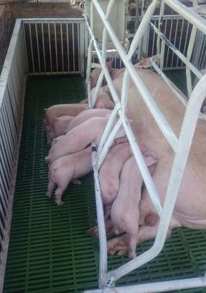 Cerdos Lechones Y Engorda
