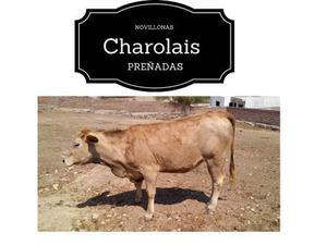 Lote 3 Becerras Preñadas Charolais, Angus Y Holstein