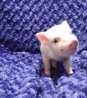 Mini Pigs Con Registro En Ammp