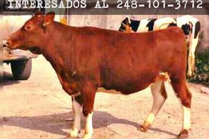 Vacas, Becerras, Y Becerros Lecheros