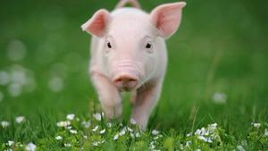 Venta De Cerdos Gordos Y Lechones Todo El Año