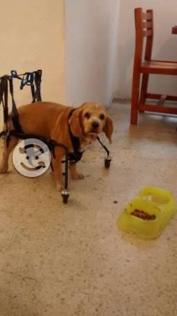 Silla de ruedas para cocker