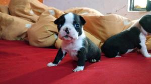 Venta de cachorritos Boston terrier
