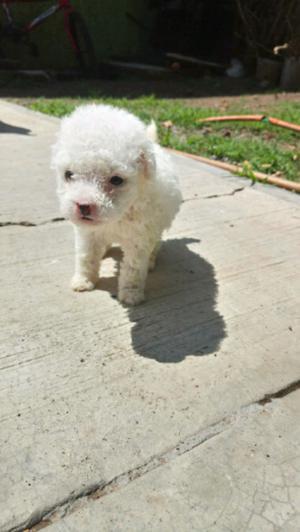 cachorritos french poodle minitoy Blancos