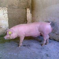 venta de lechones, cerdas para la cria, sementales, cerdo