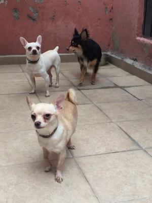 Chihuahuas en Adopción