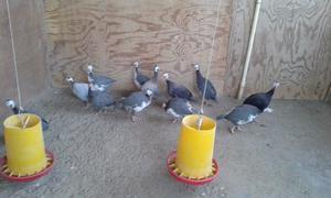 Venta de gallinas de Guinea (Coquenas)