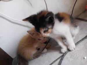 Gatitos angora macho y hembra