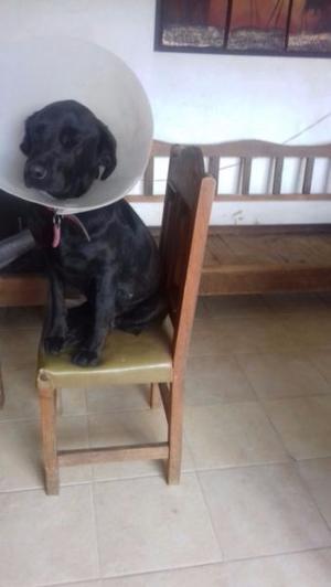 Perrita labrador en adopcion