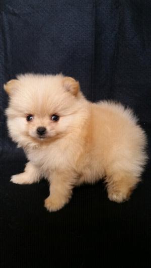 pomeranias preciosos cachorritos