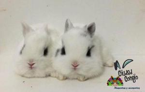 conejos enanos japones y holandes