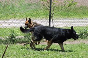 Cachorra de Pastor Alemán legítima de 4 meses