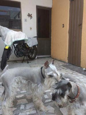 VENTA cachorros SCHNAUZER sal y pimienta  CDMX