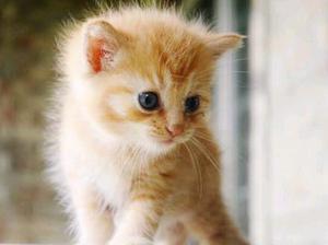 Angora gatitos yellow