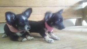 Chihuahua pelo largo toy