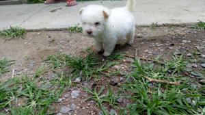 cachorritos french poodle minitoy