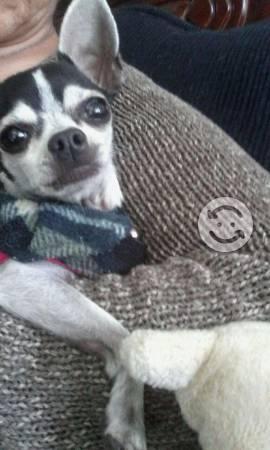 Perro Chihuahua blanca con manchas negras