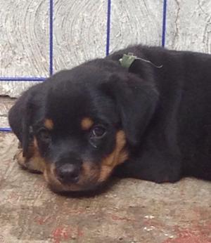 Rottweiler Cachorros hermosos 2 meses