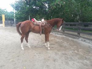 Vendo hermoso caballo de raza cuarto de milla