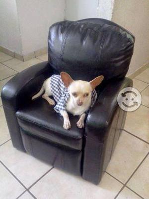 Busco: Chihuahua novia