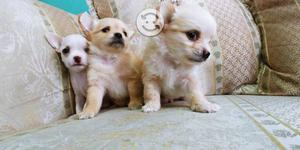 Chihuahua Pelo Largo