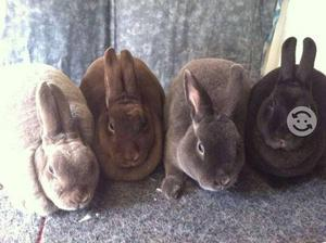 Conejos Rex Estándar y Mini Veterinaria Garantía