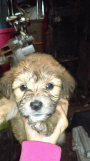Cachorras maltés en adopción.✨
