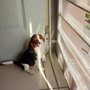 Linda Cachorrita Beagle en Venta (incluye Jaula)
