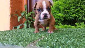 Cachorras american bully pocket vacunadas