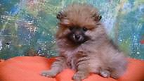 Pomerania carita de oso