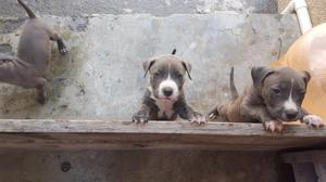 Cachorro pitbull blue