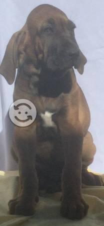 Cachorros fila brasileño con pedigree internaciona