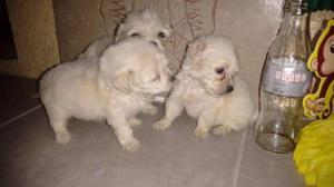 Se venden French poodle con maltés!!