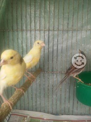Canarios jovenes de casa