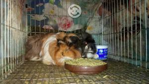 Cuyos y conejos