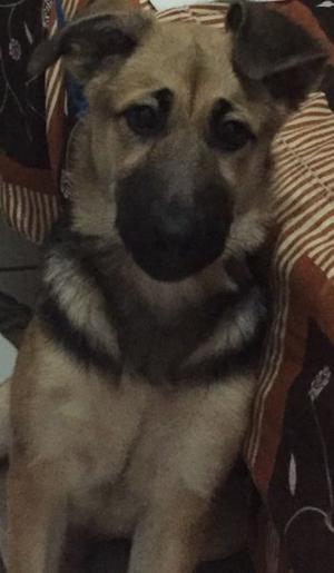 Pastor alemán cachorra de 4 meses