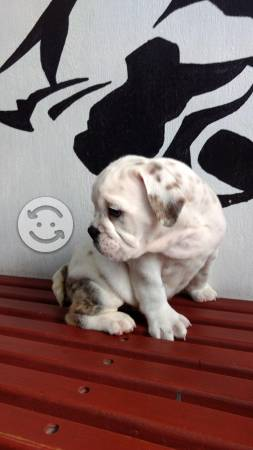 Bulldog Ingles super cachorrotes