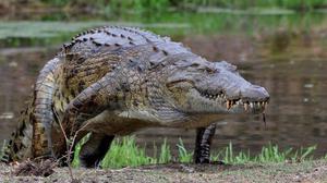 Crocodile para la venta