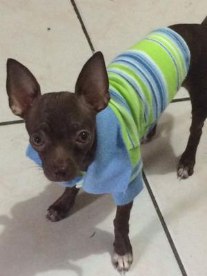 Perrito Chihuahua para monta